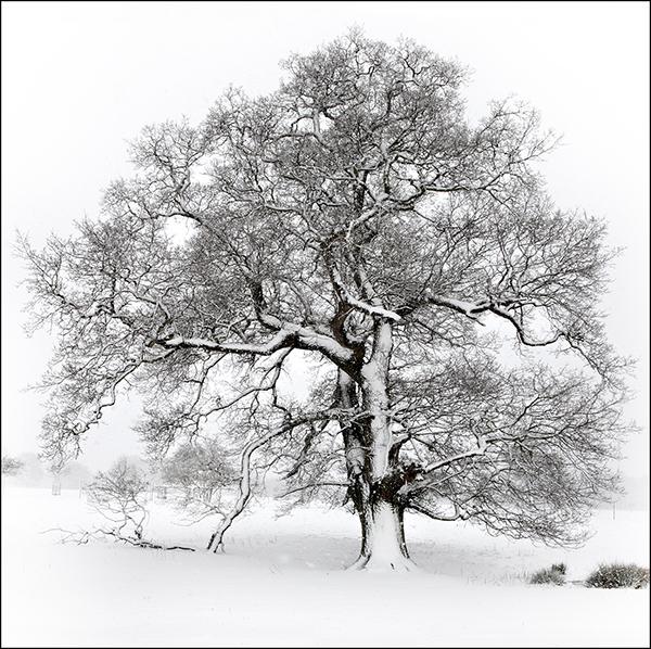 A Winters Tree Norfolk