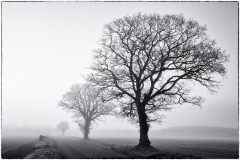 Three trees : Norfolk