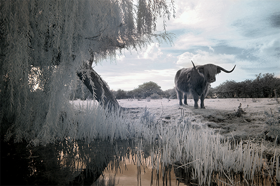 Infrared photograph of a long horn cattle by the riverside.