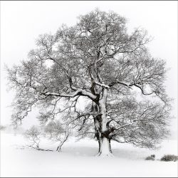 Photograph of a single tree covered in snow