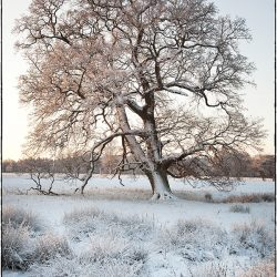 A photograph of a snow covered tree in Norfolk.