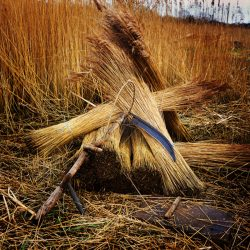 Colour photograph of reeds and scythe, Norfolk Broads.