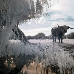 An infrared photograph of a long horned bull by the banks of a river in Norfolk.