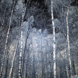 Infrared photograph of pine trees.